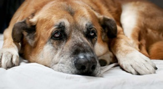 Как лечить насморк у собак