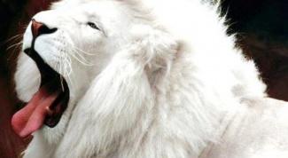 Где обитают белые львы