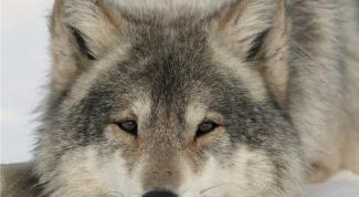 К чему сниться волк