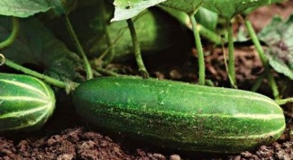 How to prepare a bed for cucumbers