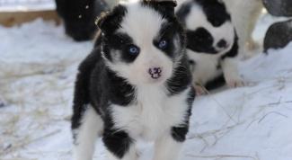 Сколько стоит щенок лайки