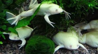 Как их содержать и разводить аквариумных лягушек