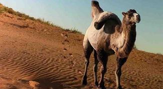 Что ест верблюд