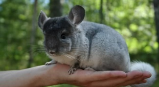 Some teams can be trained chinchilla