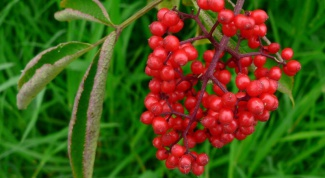 What is dangerous Wolfberry