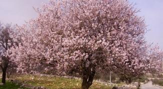 В честь кого назвали миндальное дерево
