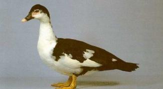 Как выглядит барбарийская утка