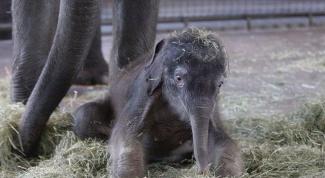 Сколько длится беременность самки слона