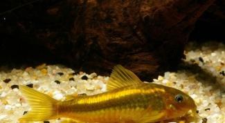 Почему рыбки лежат на дне аквариума