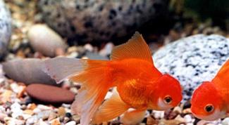 Why goldfish turn black