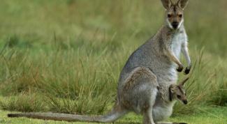 Зачем самцу кенгуру сумка