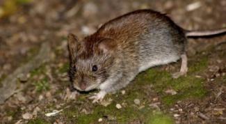 Как избавиться от земляной крысы на участке