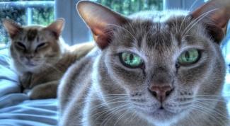 Как восстановить зрение у кошки