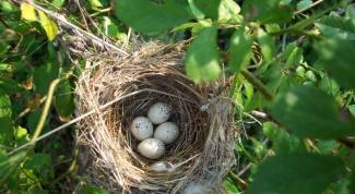 Как птицы вьют свои гнезда
