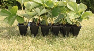 Как вырастить землянику на рассаду