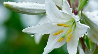 Свойства и применение цветов лилий