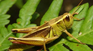 How to distinguish a grasshopper from a locust