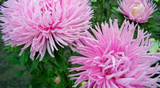 How to plant asters in the ground
