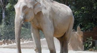 Поголовье каких слонов больше - индийских или африканских