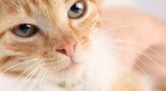 Causes of crusts on the nose in cats