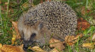 How many live hedgehogs