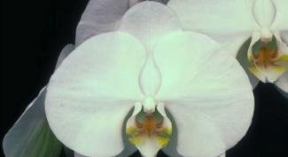 Какие орхидеи бывают