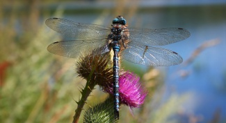 What to eat dragonflies