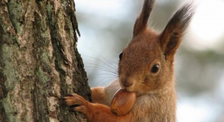 What to eat squirrels