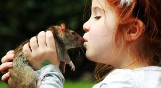 The symptoms of rat fever