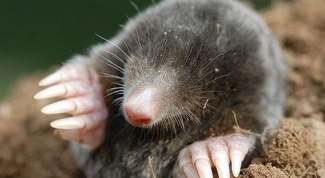 Why do moles dig holes