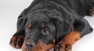 Что делать, если собака съела носок