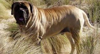 Самая большая собака в мире