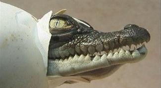Как размножаются крокодилы