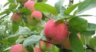 Почему плохо растет яблоня