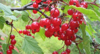 How often to water currant
