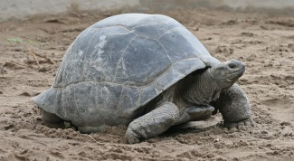 How many years living of the land turtle