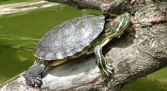 Нужна ли черепахам вода