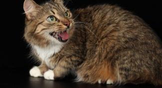 Почему сытый кот постоянно орет