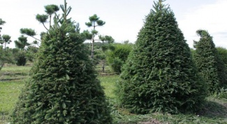 How many years to grow a spruce tree in the country