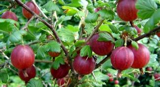 Какие ягоды посадить на затененном участке земли