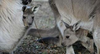 Сколько весит новорожденный кенгуру