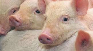 Почему нельзя есть свинину