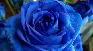 Как вырастить голубую розу