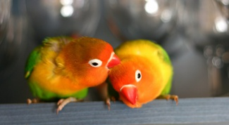 How much is parrot lovebird