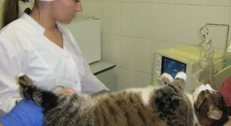 Как сделать узи брюшной полости коту