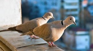 Почему голуби залетают на балкон
