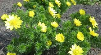 Как выращивать адонис
