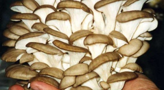 How to cook oyster mushrooms stewed with sour cream in the microwave
