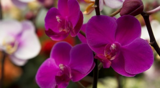 How to make Orchid bloom