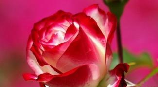 Укрываем розы по всем правилам